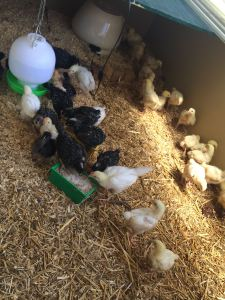 Meat and egg chicks growing up together