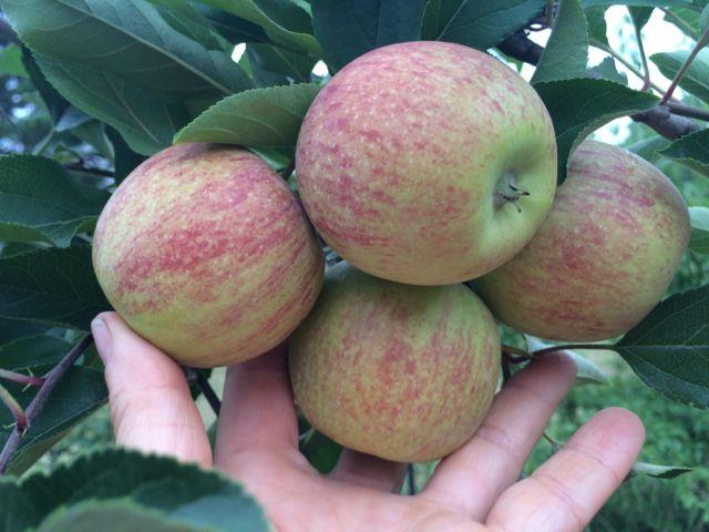 Apples - Jonathan
