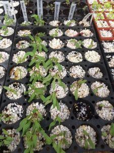 Seedlings - beets