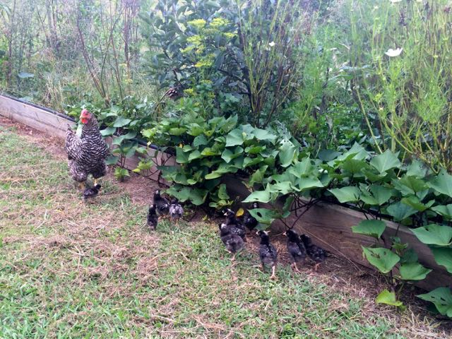 Hen and chicks free range