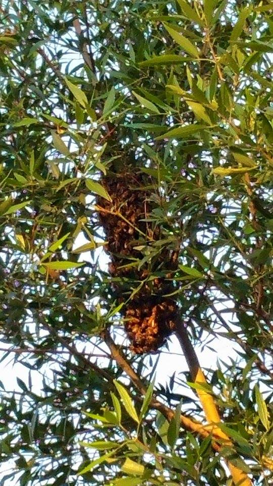 Wild bee swarm, swarming in Christmas Bush shrub.