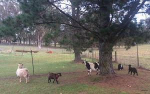 New goat herd
